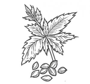 Hanfsamen-Blüten